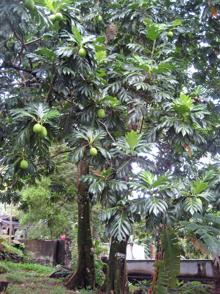 fully mature breadfruit tree.