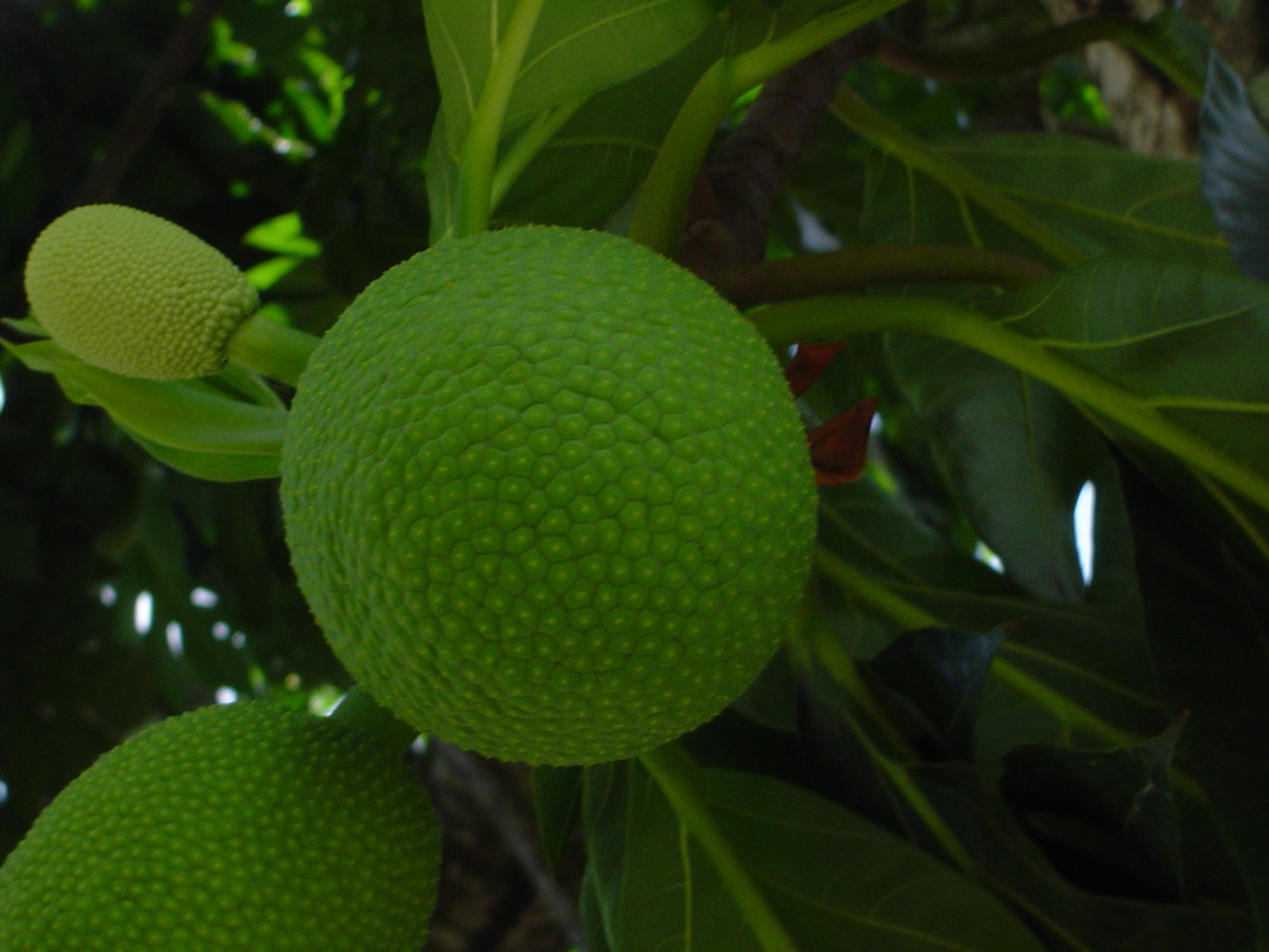 Breadfruit Tree growing in Brazil.