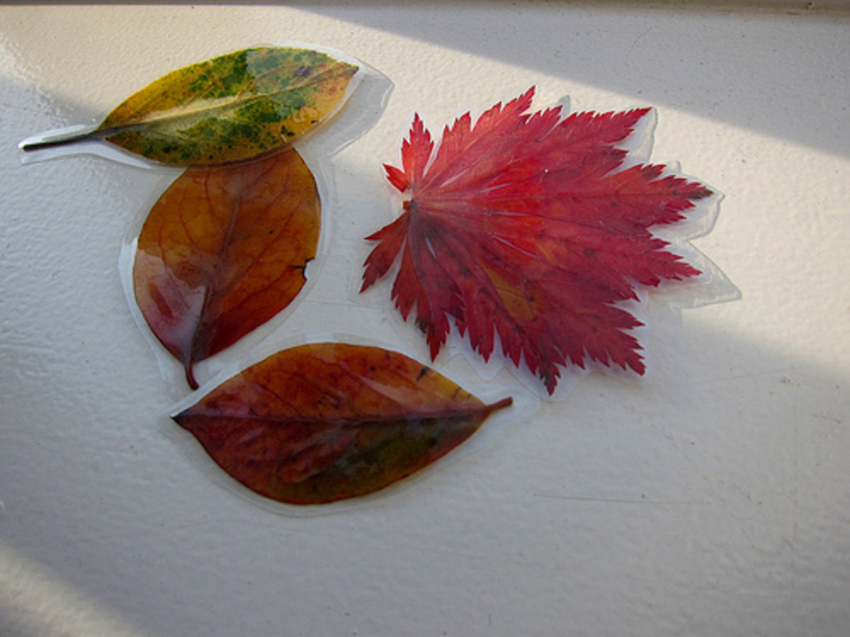 Laminated autumn leaves