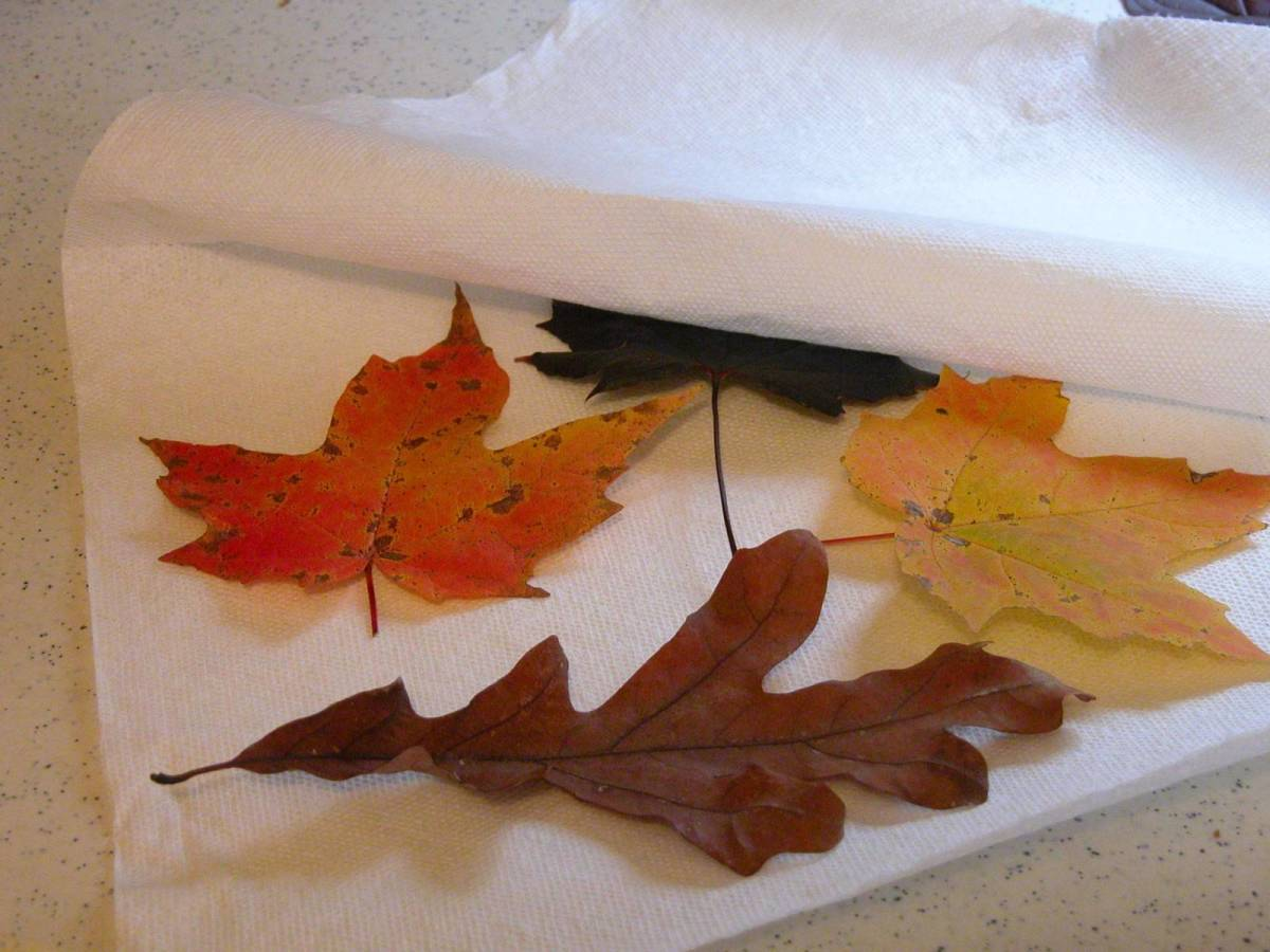 Leaves being prepared to be microwaved