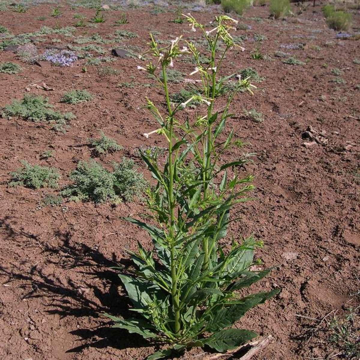 Coyote tobacco, Nicotiana attenuata.