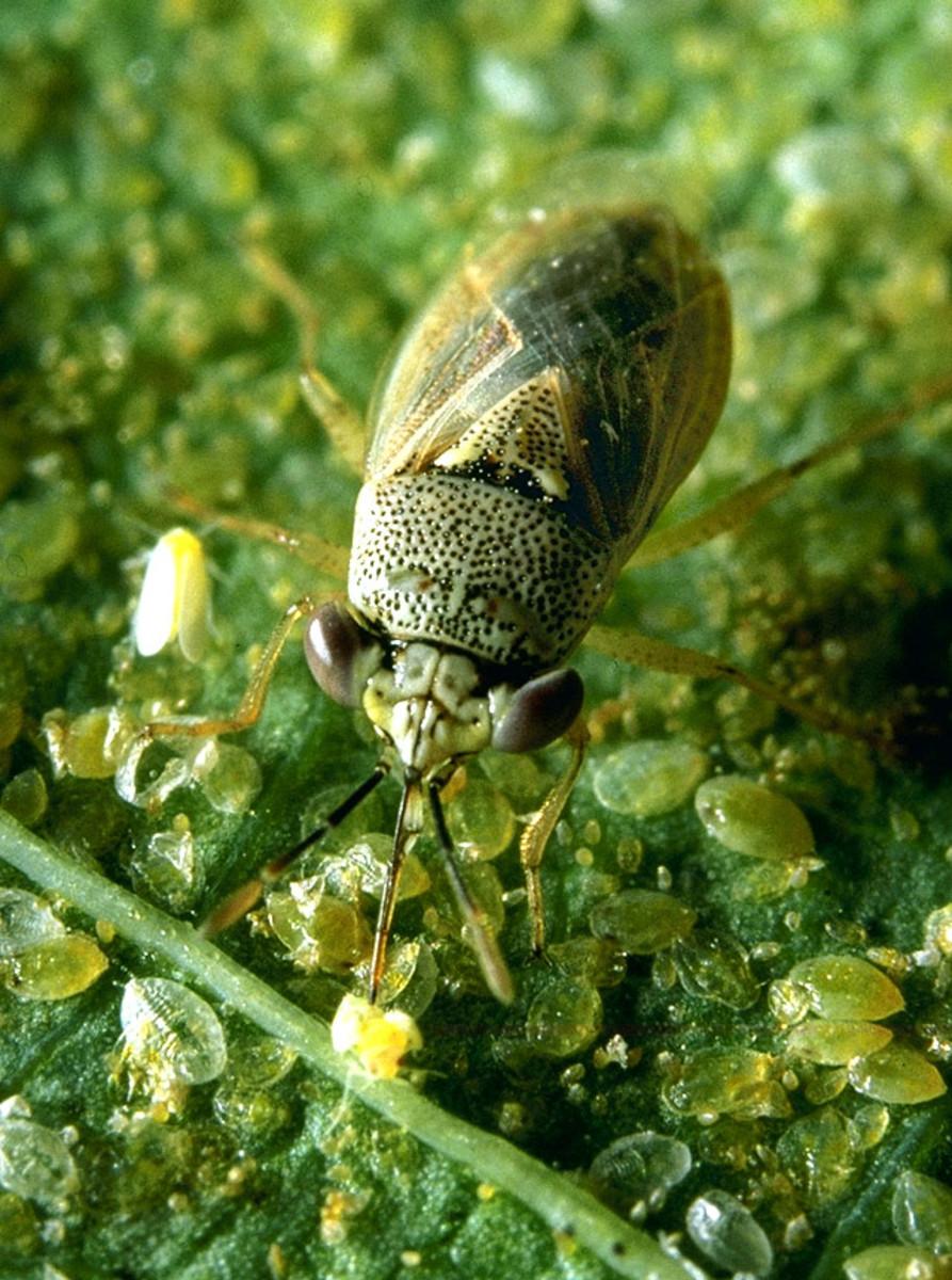 Geocoris insect.