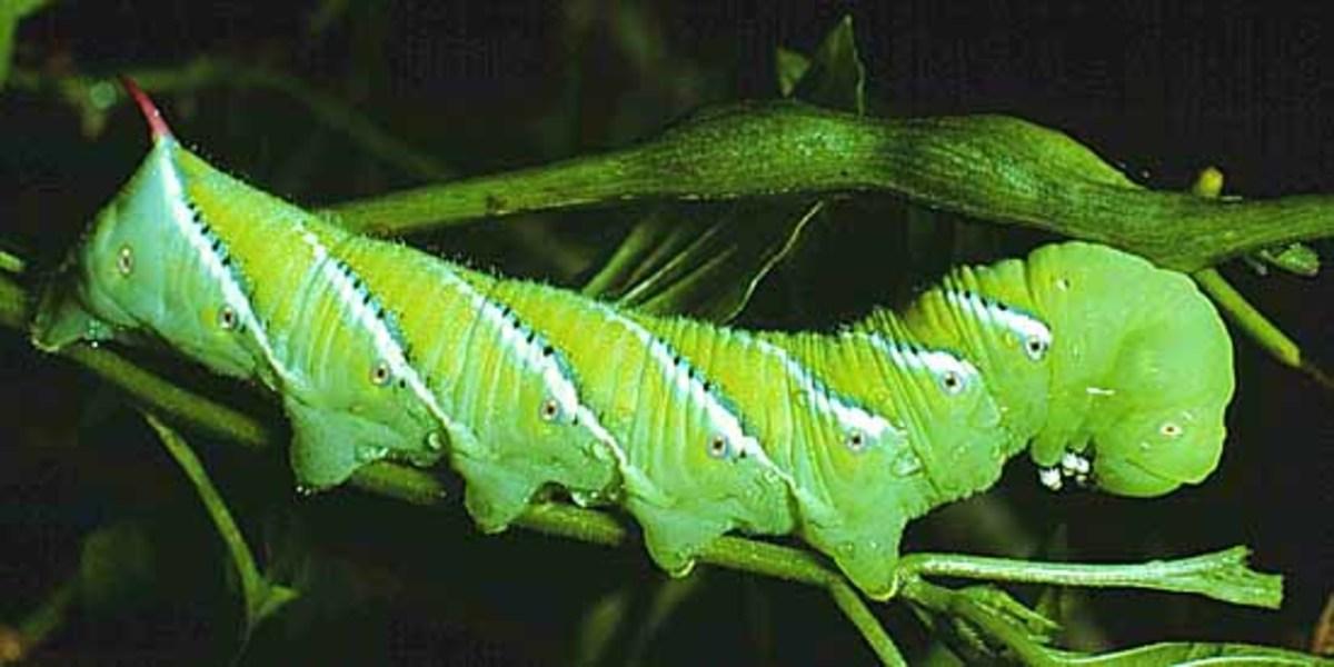 The caterpillar (larva) of hawkmoth Manduca sexta.