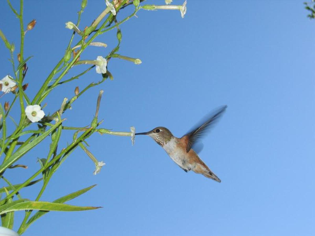 Hummingbird visiting a coyote tobacco plant.