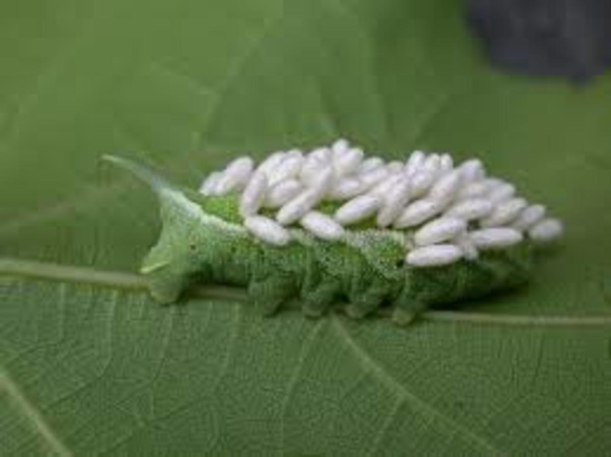Hawkmoth larva full of Cotesia cocoons.