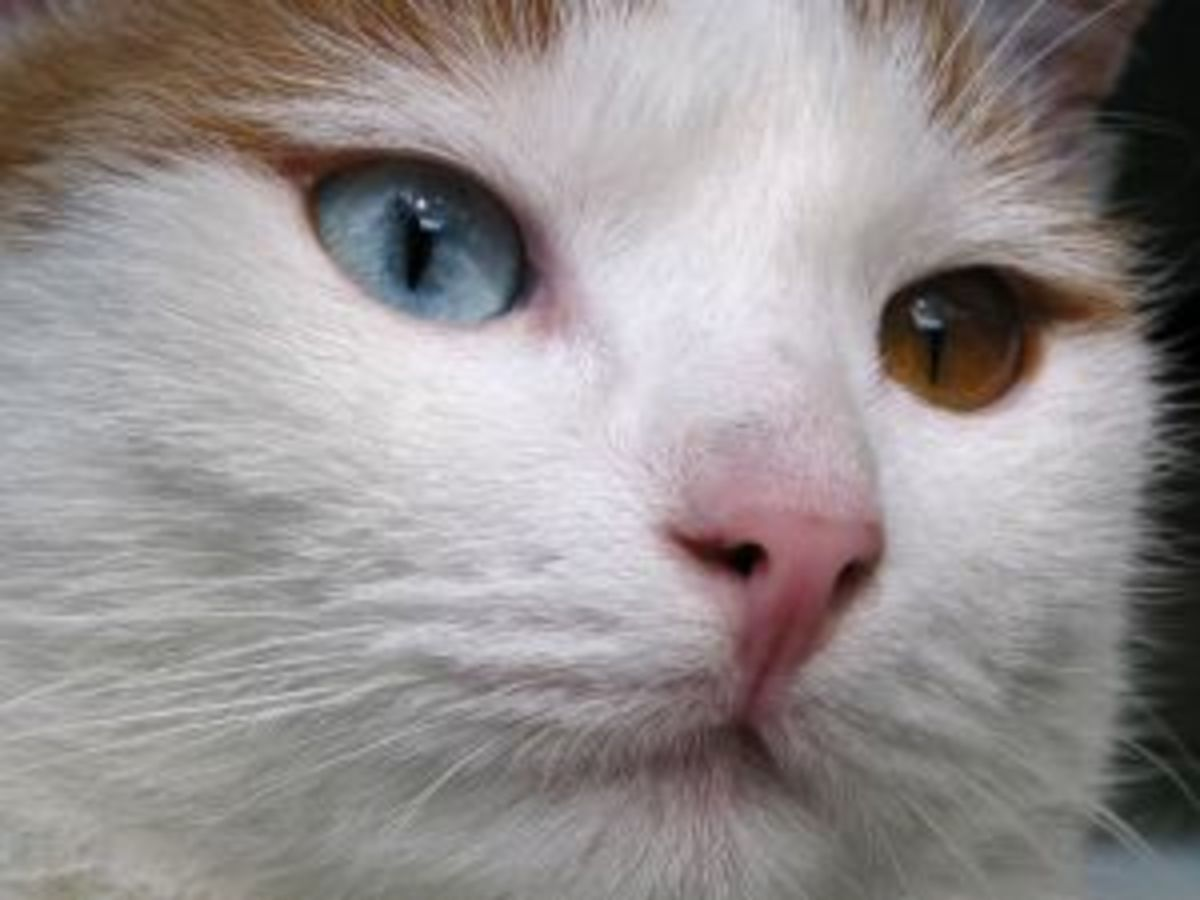 An adult Turkish Van with eyes that are two different colors.