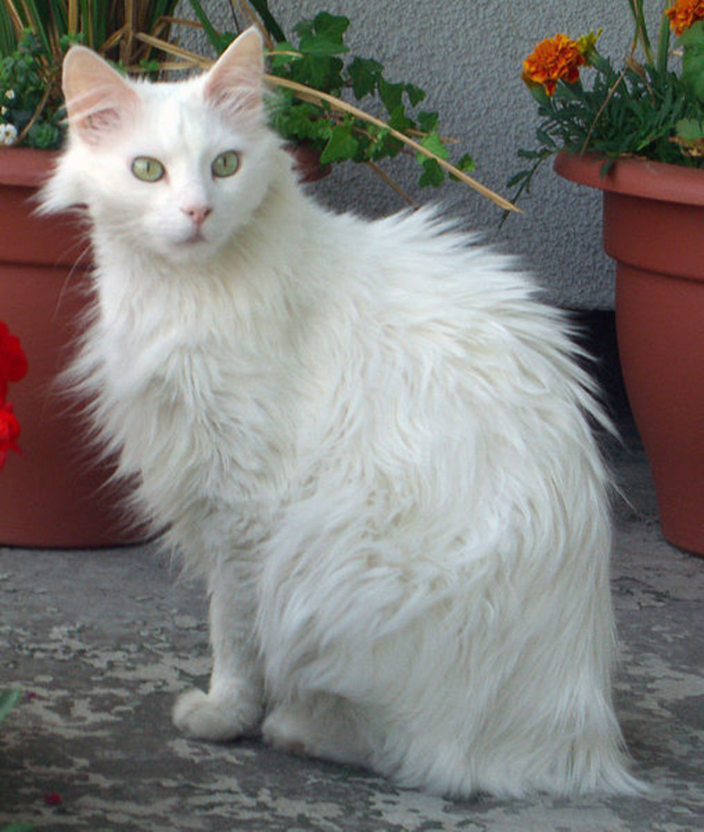 The Turkish Angora.