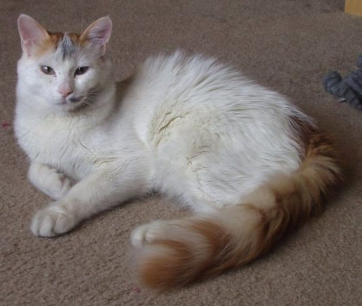 Another beautiful example of the Turkish Van.