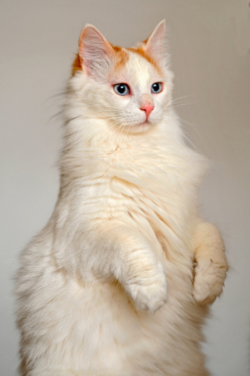 A beautiful Turkish Van cat begging for attention.