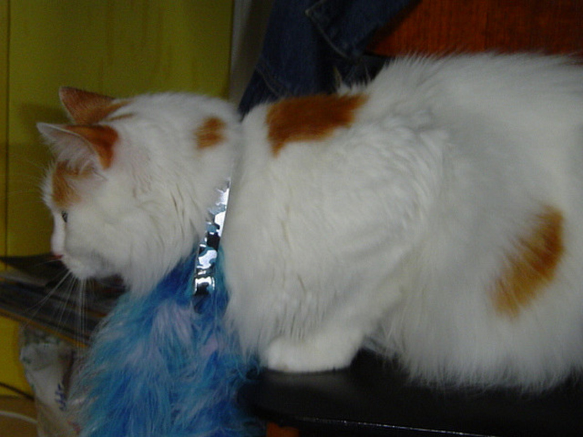 Turkish Van Cat with a spot on its back is thought to be marked by God.