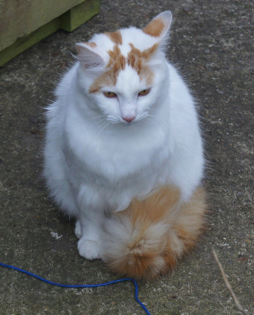 White and Orange Turkish Van Cat