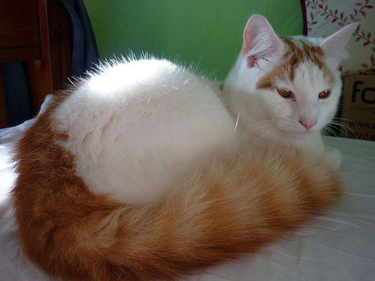 White Cat With Orange Ringed Tail