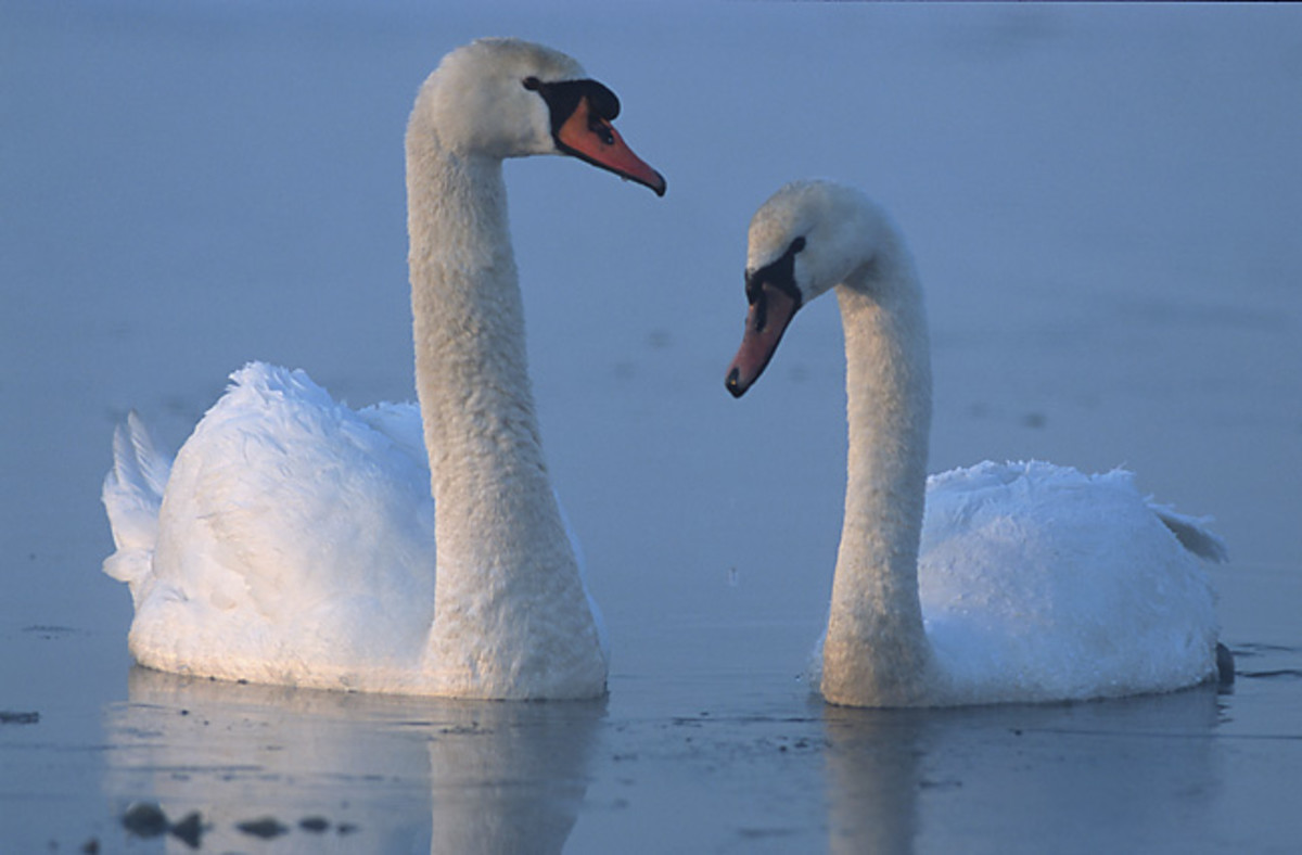 Mute swans with their white plumage  give us a sense of grace and purity.