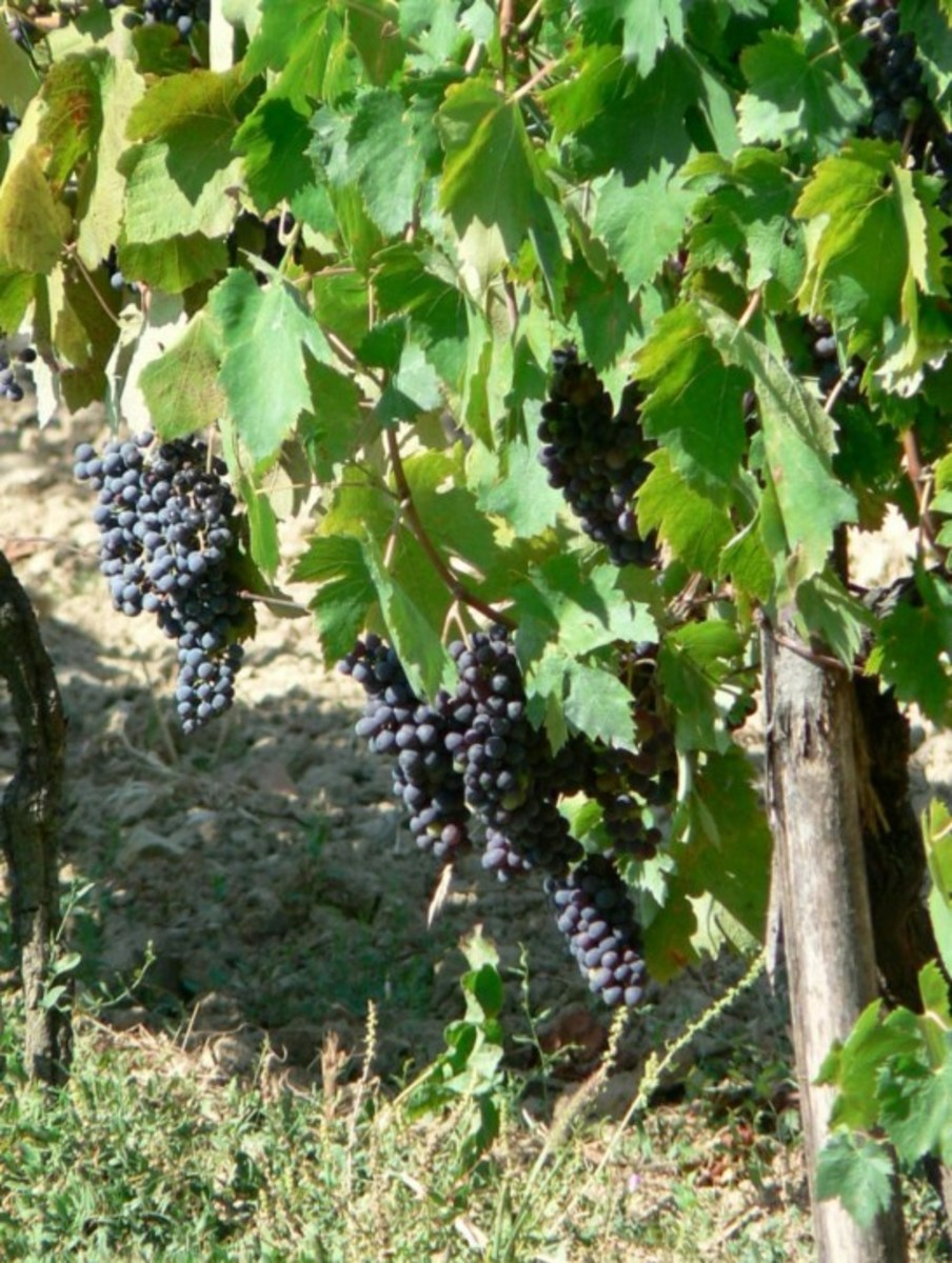 Beautiful grape clusters hanging ripe on the vine