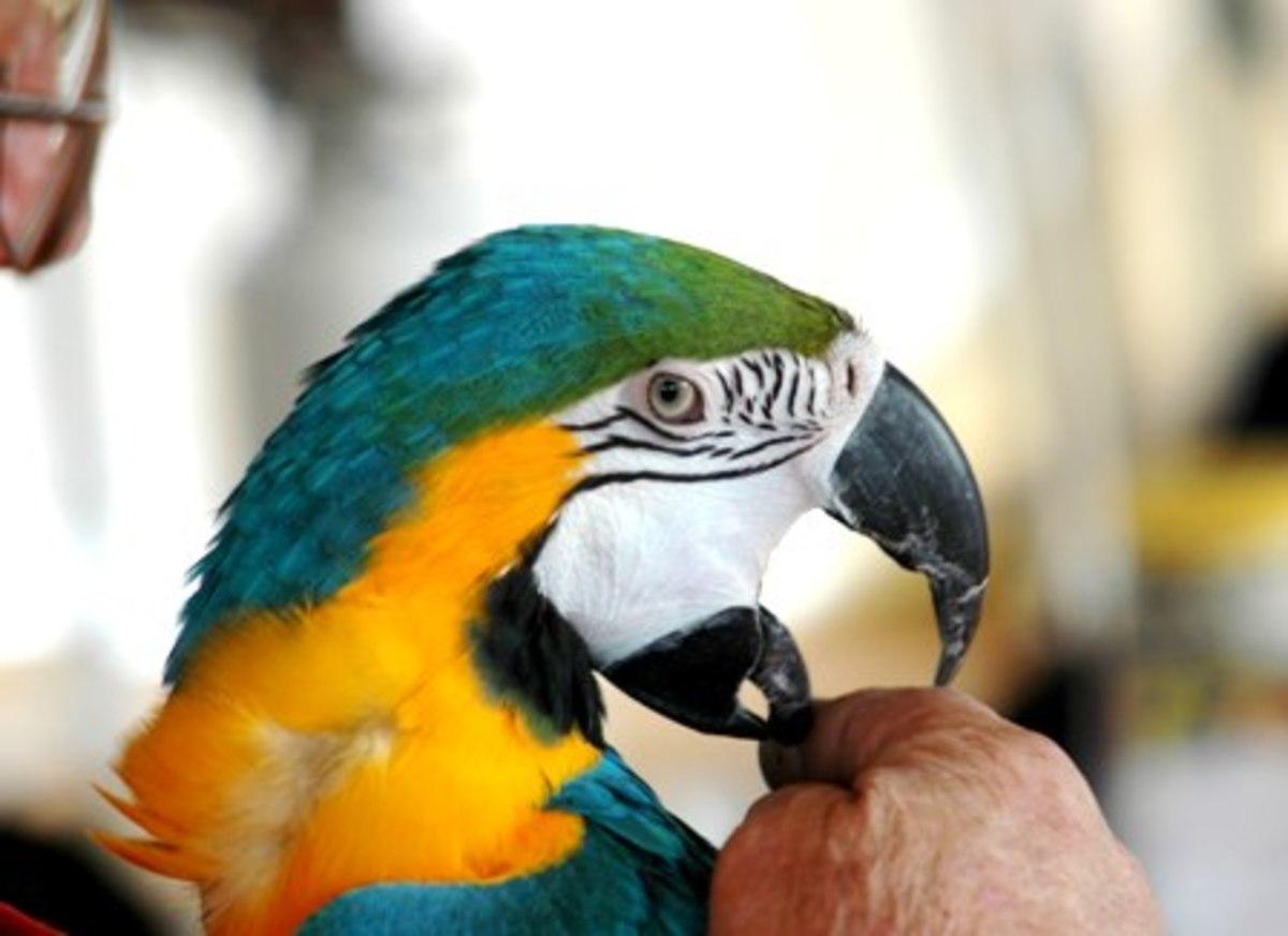 Parrot testing boundaries.