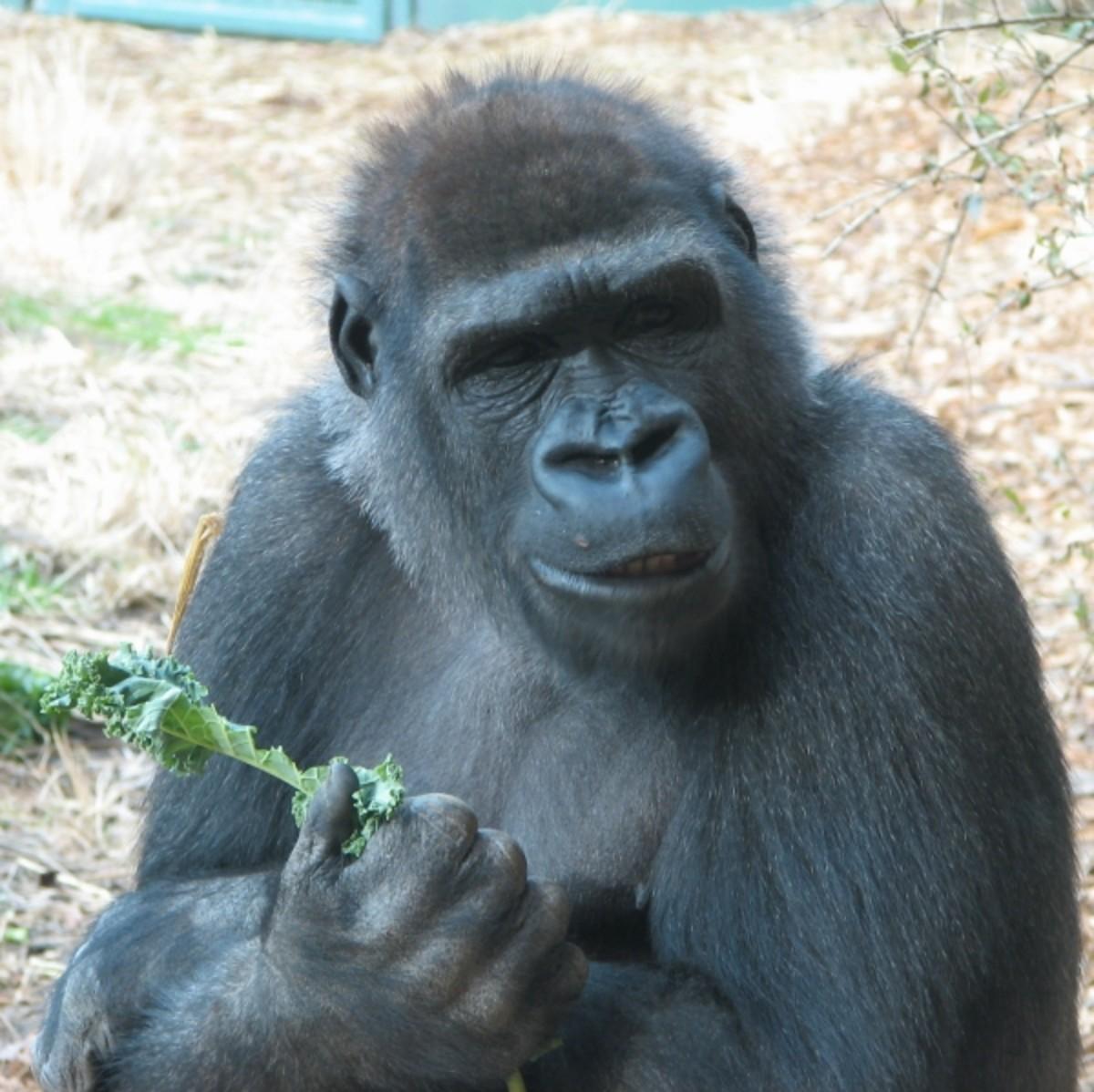 Mountain Gorilla- Gorilla beringei beringei