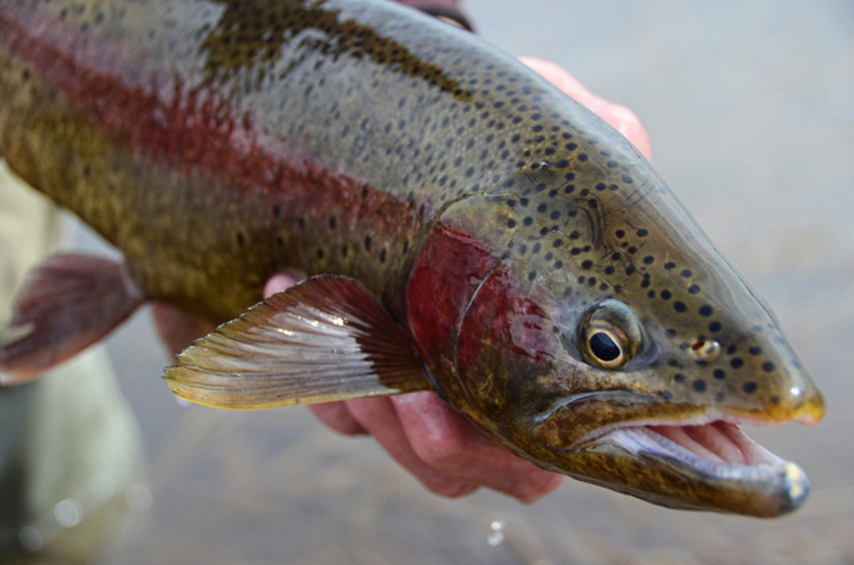 A brightly colored rainbow trout