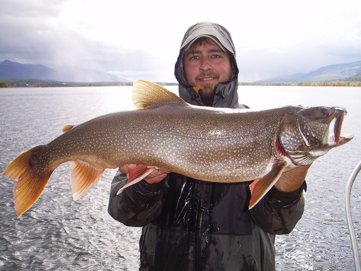 A full size adult lake trout caught trolling plugs