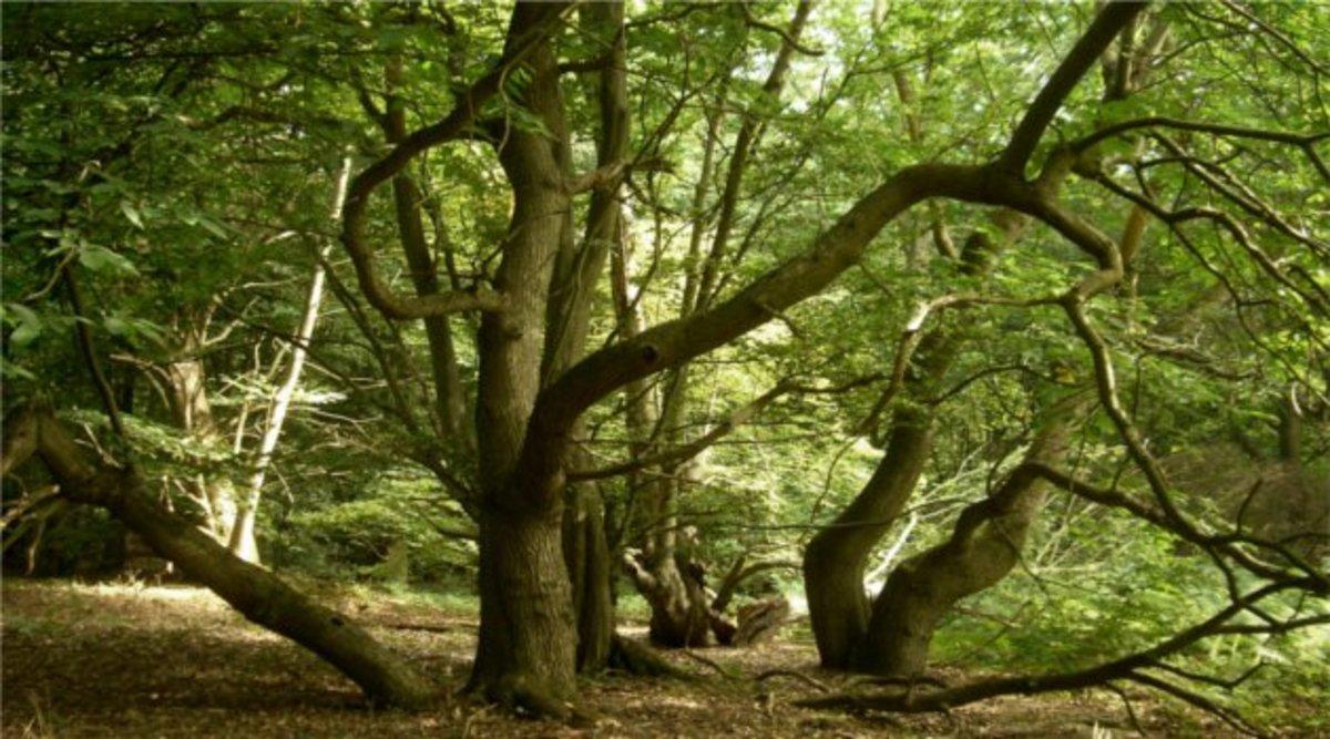 Screaming Woods - Pluckley