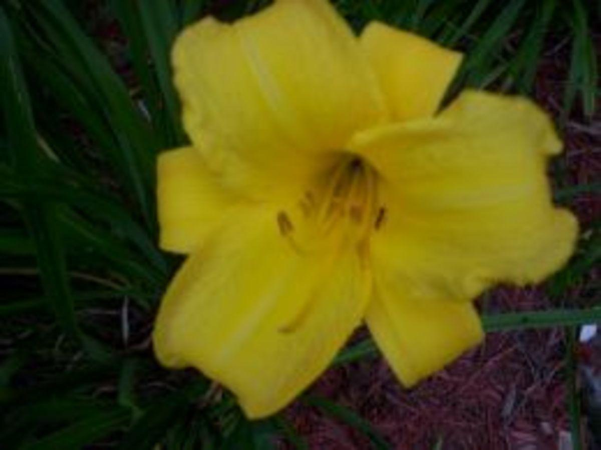 Golden Gift Daylily