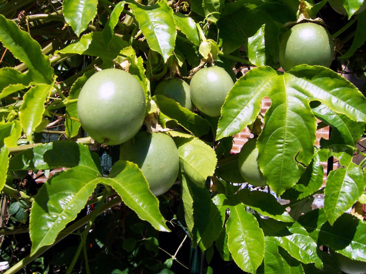 Passion fruit vine with raw fruits