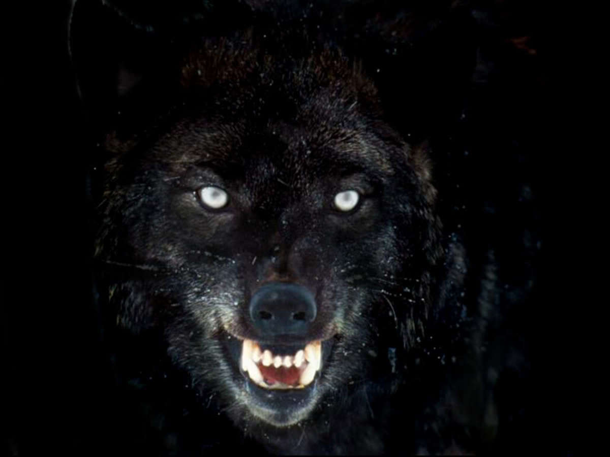 Feel the hot, foul breath on your brow, see the yellowing fangs dripping saliva - but do not look into those white-hot, angry eyes that bear a grudge against his captors...