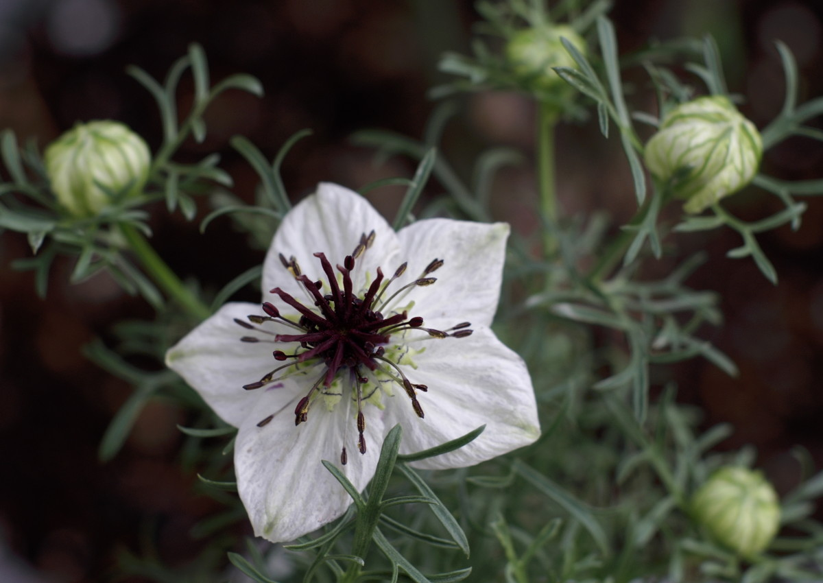 Nigella sativa white flower