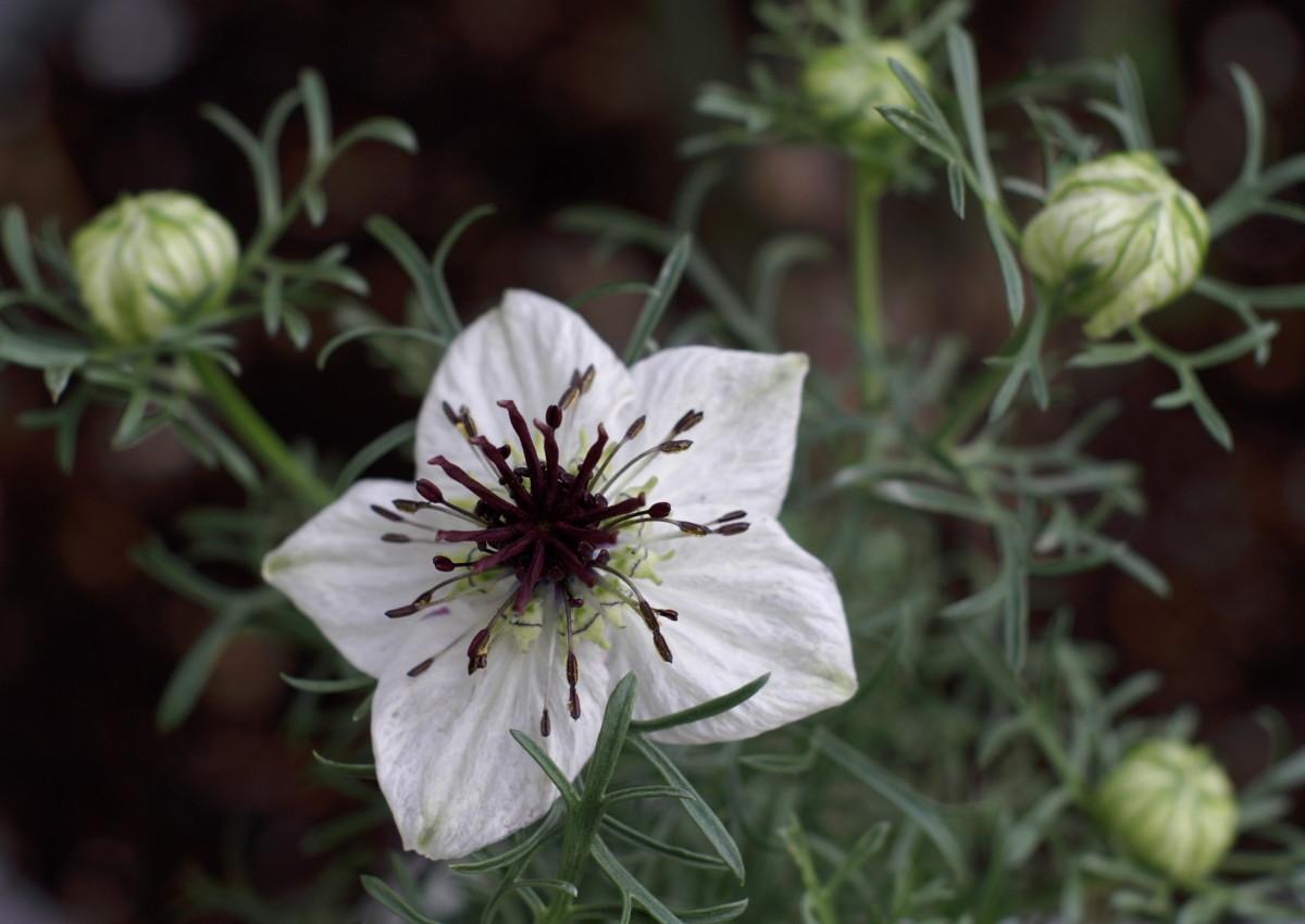 Nigella sativa white flower