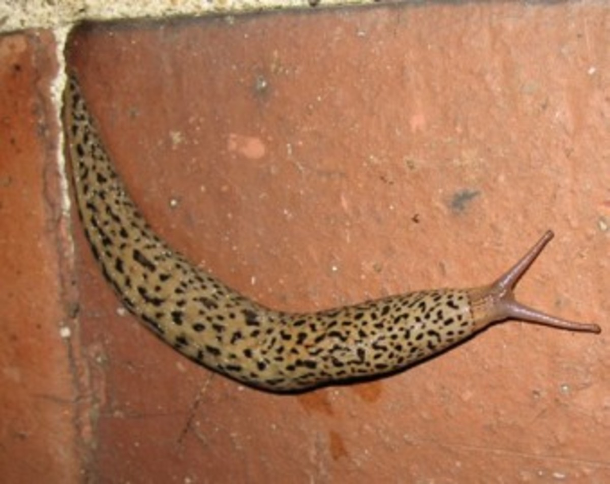 "This slimy yet beautifully patterned slug is the Leopard slug or ""King Slug"" (Limax Maximus), and true to it's name it is a 'predatory' slug that is out to eat other slugs."
