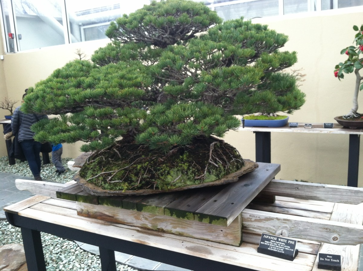 Introverts are drawn to bonsai trees.
