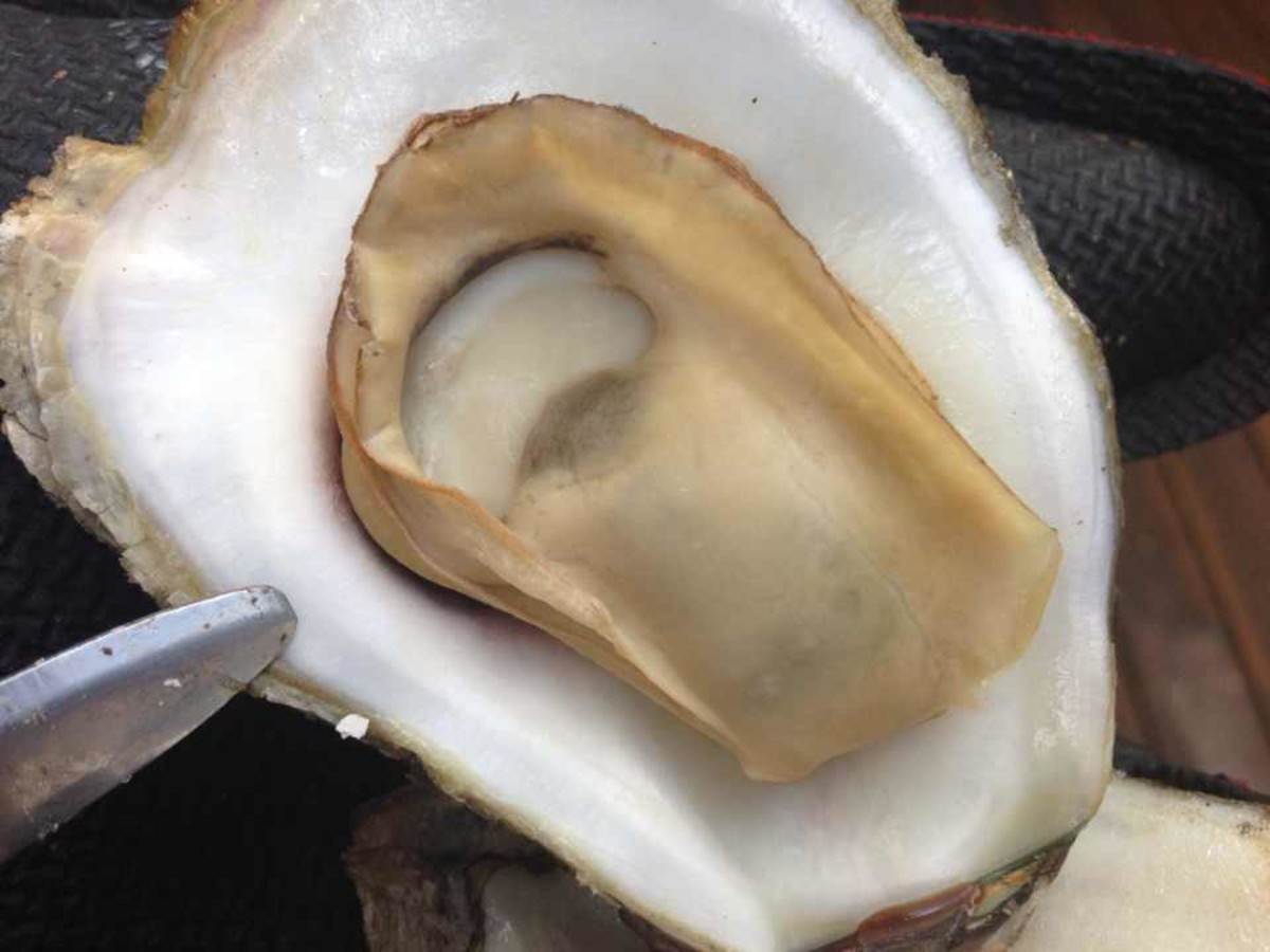 Oyster in half shell