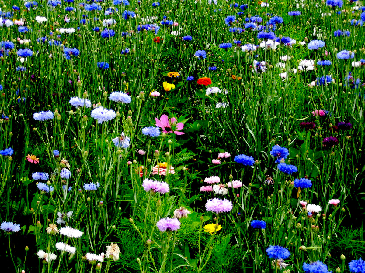 What Are Bach Flower Remedies or Essences - an Overview