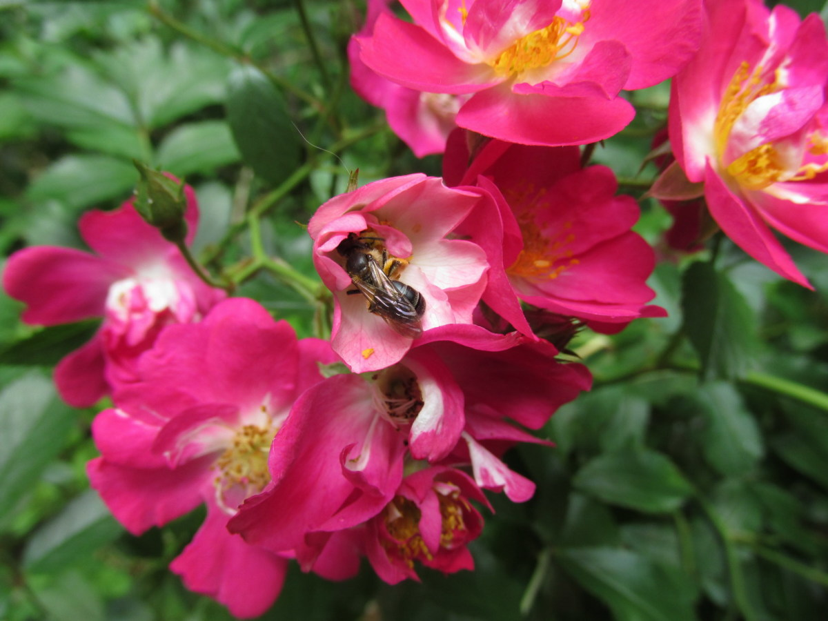 Many bees and little beneficial insects pollinate these roses.