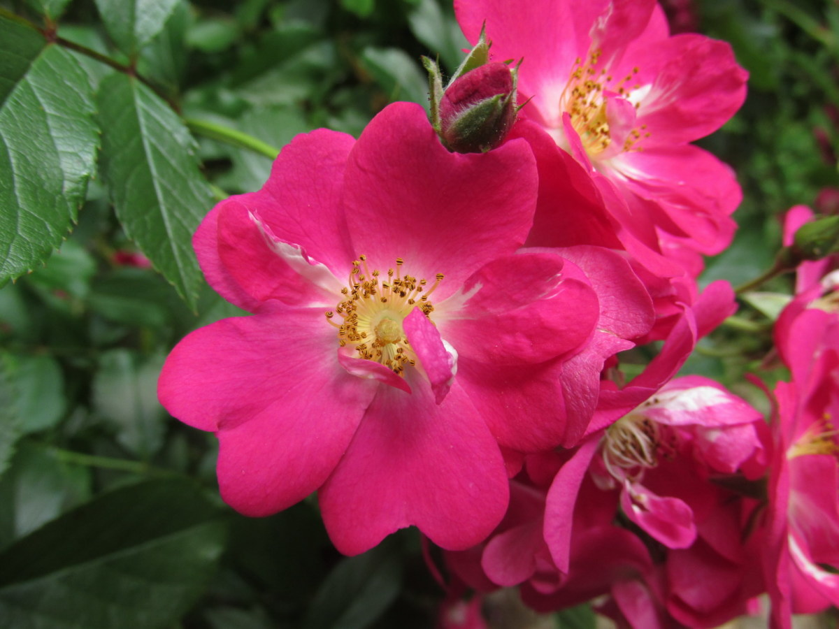 My 'Robin Hood' Climbing Rose Bush
