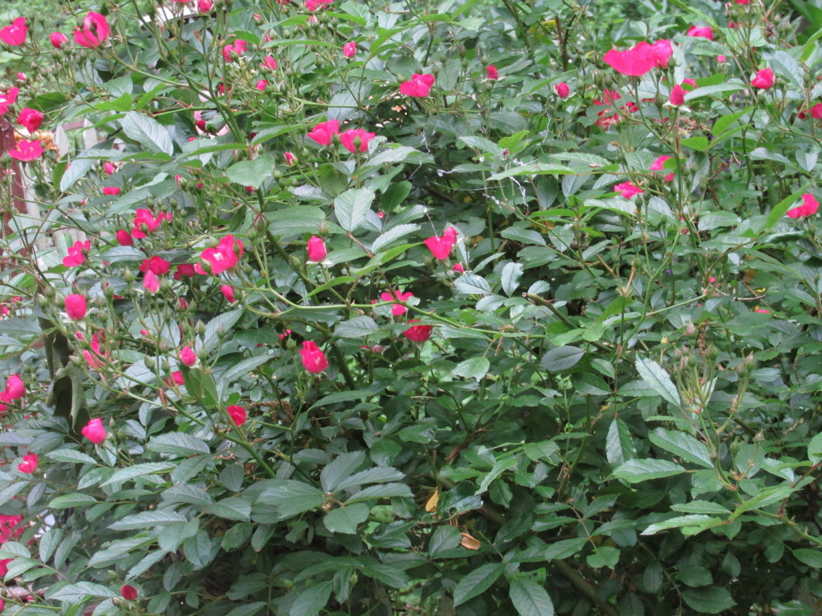'Robin Hood' Climbing Rose Bush is loaded with flowers, thorns, beneficial insects and nesting spots!