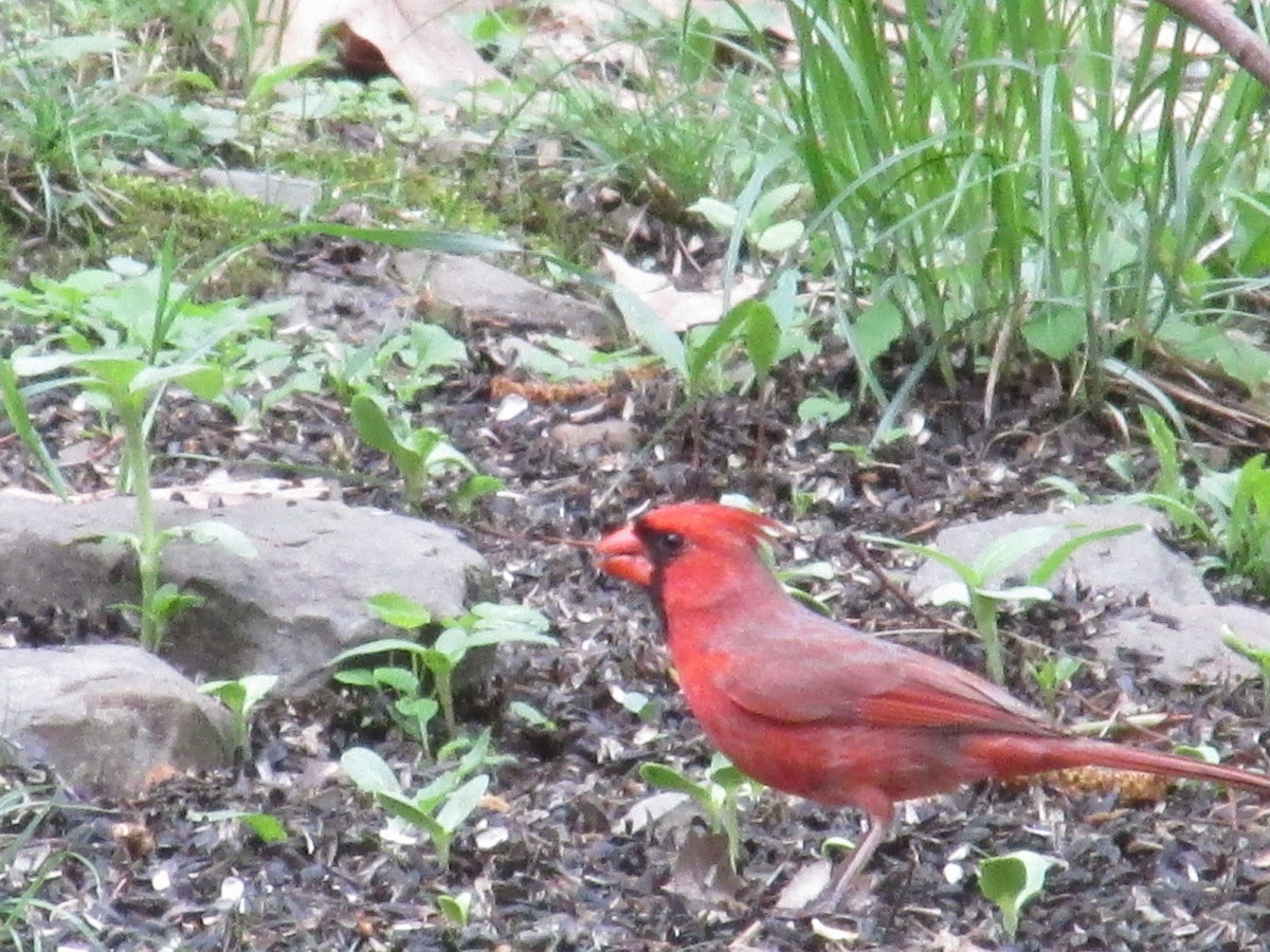 Male Northern Cardinal foraging under feeders.  They love sunflower seeds, but they go crazy for pumpkin seeds!