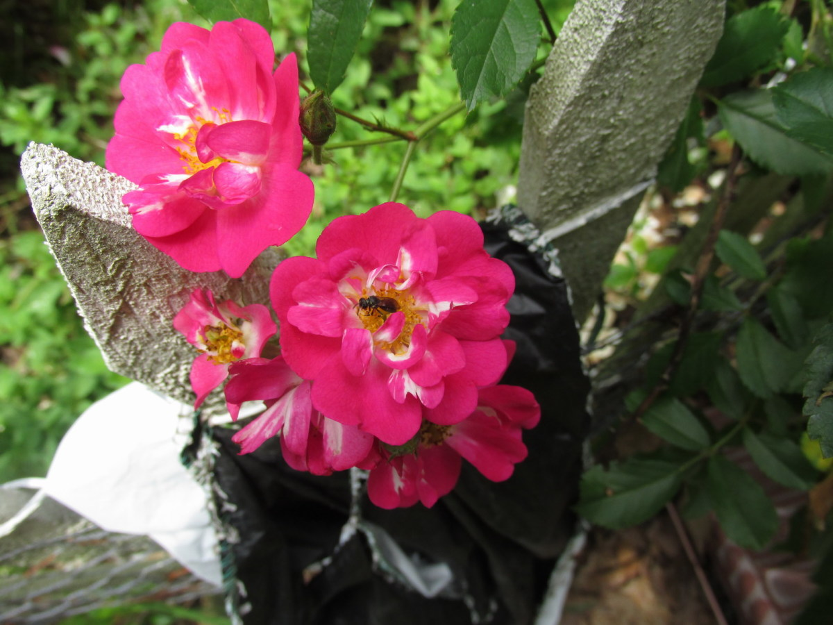 The roses are alive with pollinators of all sizes and kinds.  I never use chemicals!