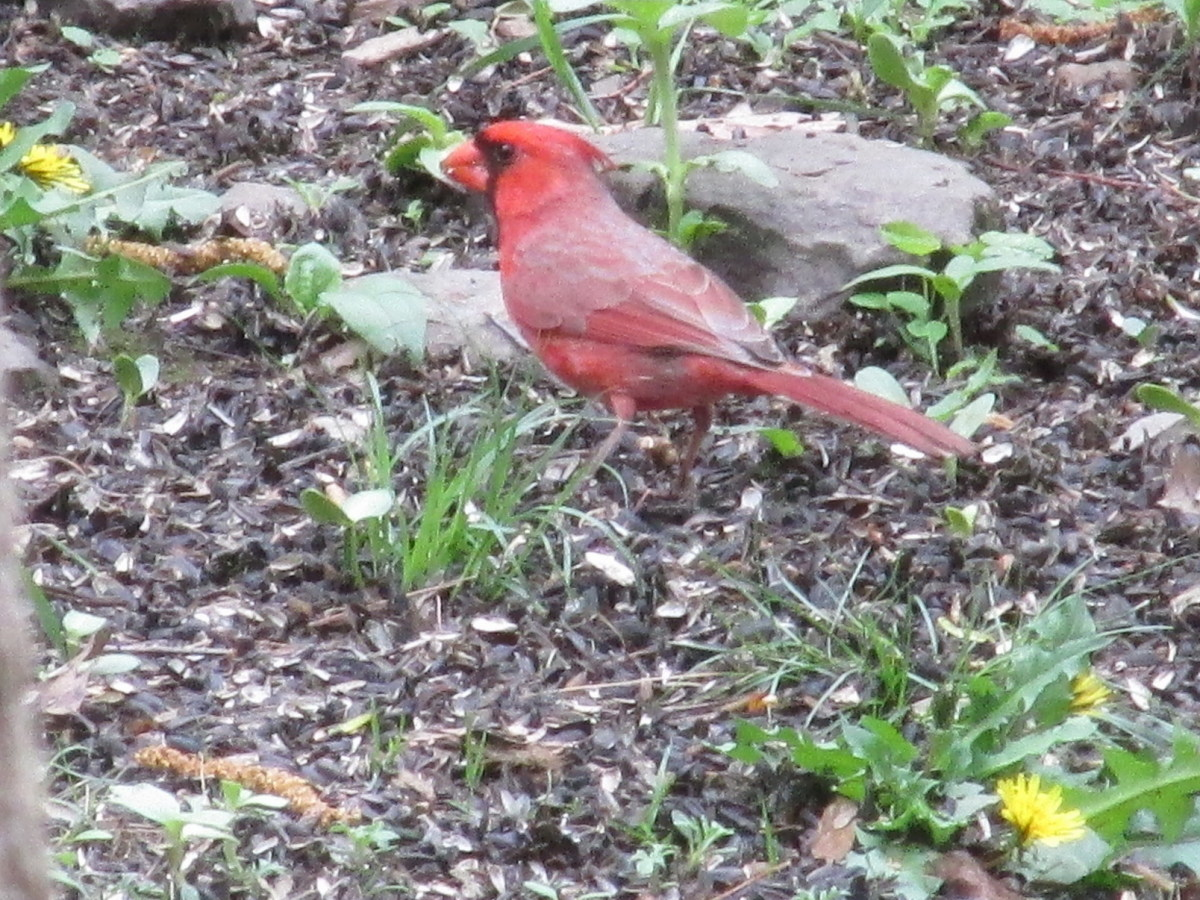 Male Northern Cardinal needs to forage constantly to keep his mate fed, while she waits for her eggs to hatch.
