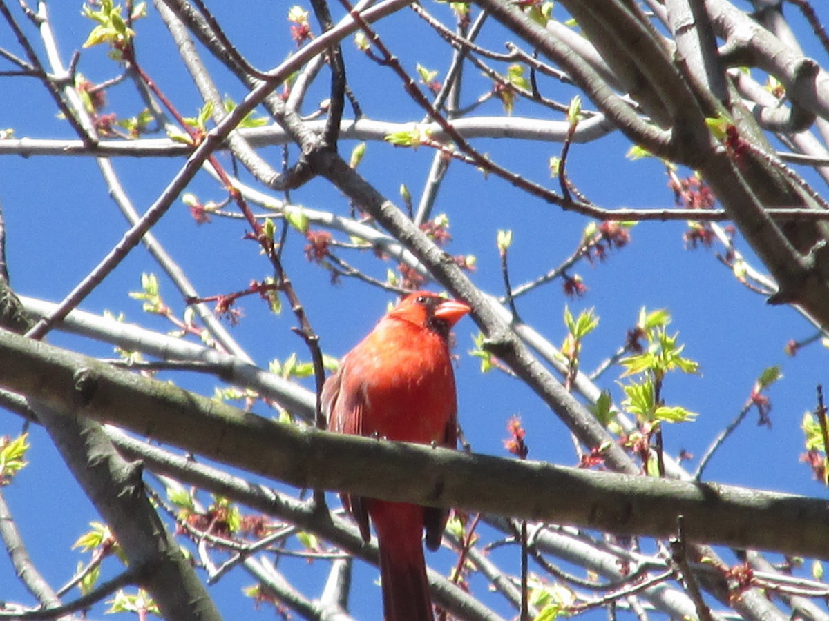 Male Northern Cardinal perched high in a tree checking out his territory.