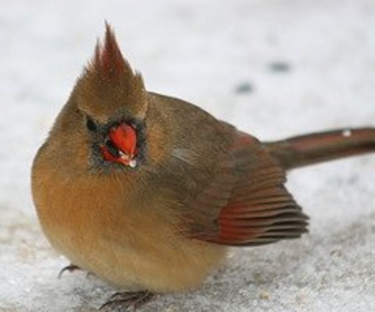 Female Northern Cardinal needs lots of feeding by her mate during the breeding season.