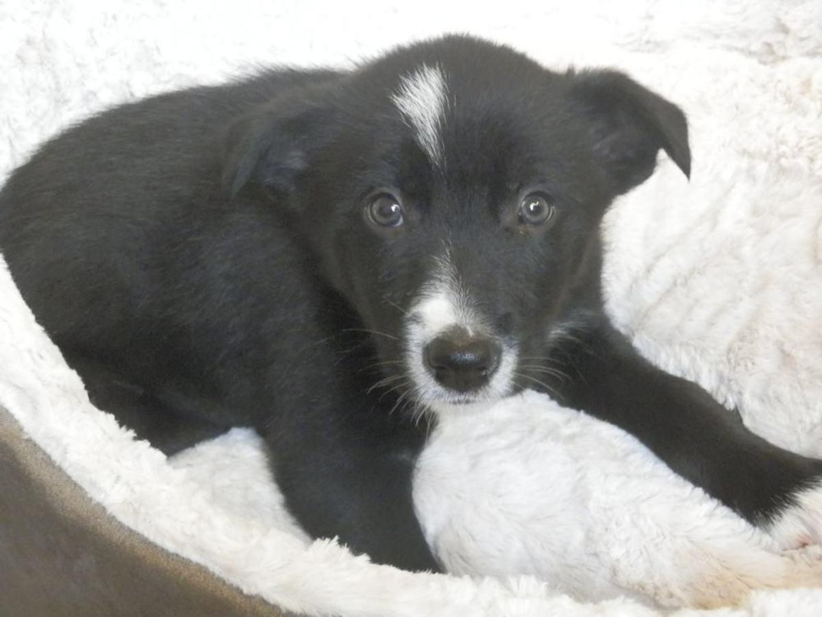 border collie puppy (8 weeks old)