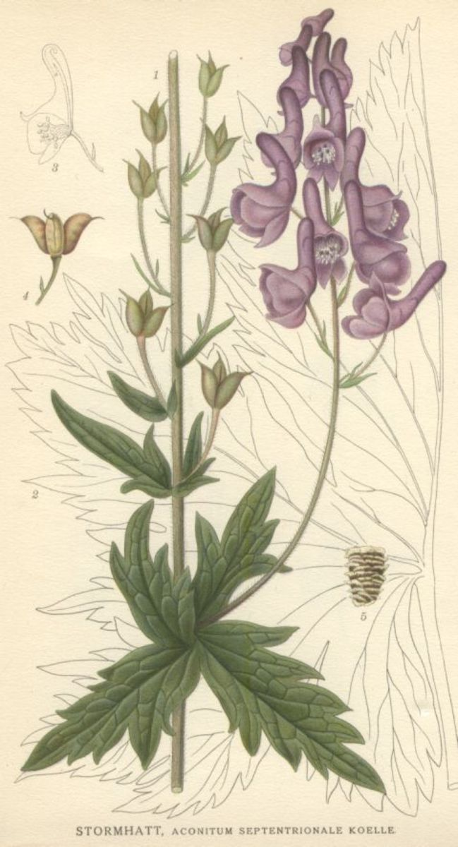 Early 20th century drawing of an Aconitum plant by Carl Axel Magnus Lindman