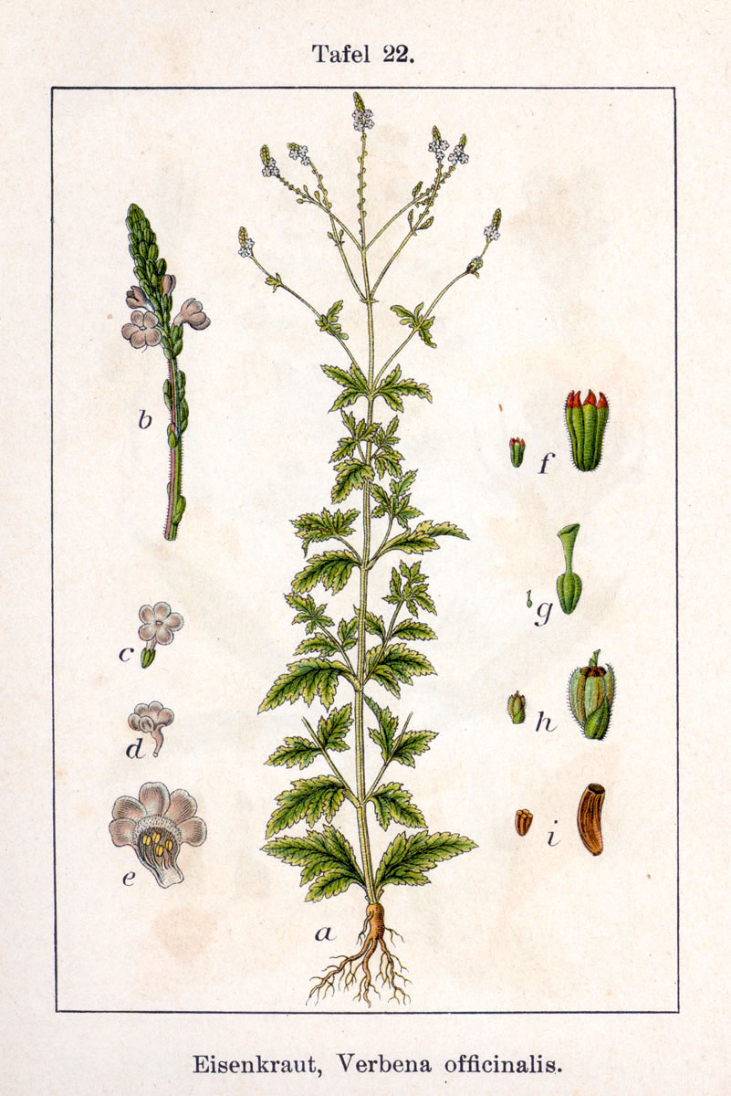 1796 detailed drawing of common vervain from a book by Johann Georg and Jacob Sturm