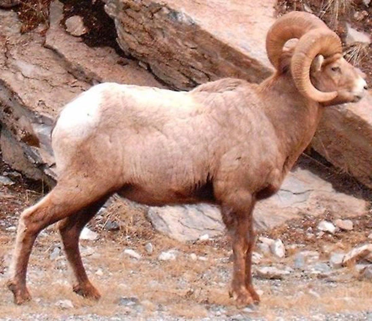 A ram – The ram's horn is kosher for a Rosh Hashanah shofar.