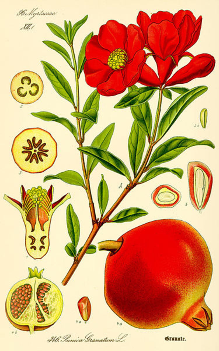 The Pomegranate Flower and Fruit