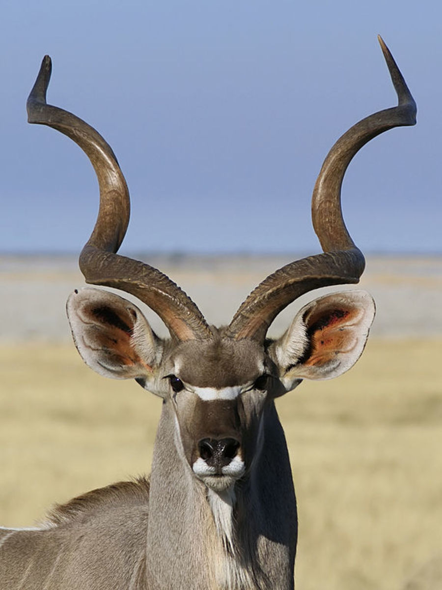 The horn of a Kudu antelope is used to make a Yemenite shofar.