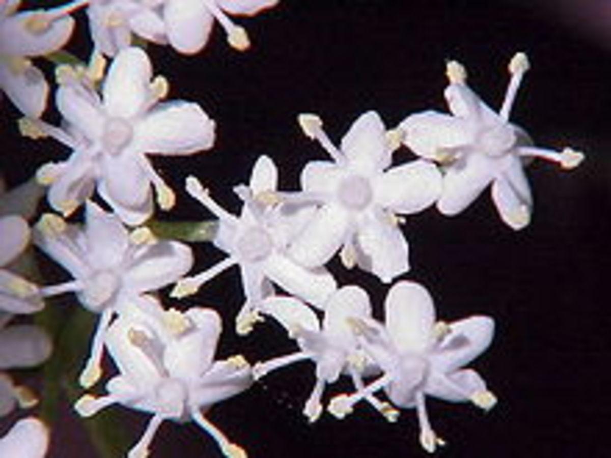 Tiny elderflowers
