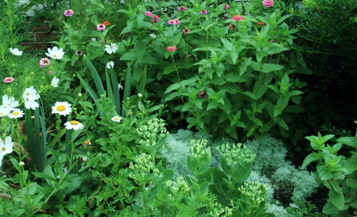 Shasta daisies, Autumn Joy sedum, zinnia, love-in-the-mist, silver mound & marigolds easily mask the soaker hose in our flowerbed.