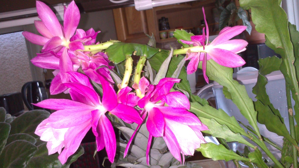 Latest photo of orchid cactus