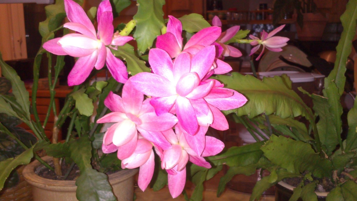 Pretty in Pink Orchid Cactus